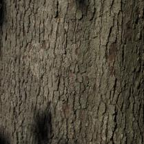 Quercus Alba bark in September. Photo © 2014 Elaine L. Mills