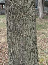 Liquidambar styraciflua (Sweetgum) has stereotypically furrowed bark. Photo © Elaine Mills