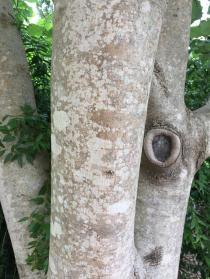 Bigleaf magnolia has smooth, light gray bark. Photo © Elaine Mills