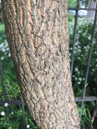 The blocky bark of persimmon has distinct orange furrows. Photo © Elaine Mills