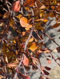 The spines of barberry are in fact modified sharp-pointed leaves. Photo © Elaine Mills