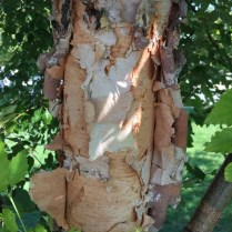 River birch has many layers of salmon-pink to reddish-brown papery bark. Photo © Elaine Mills