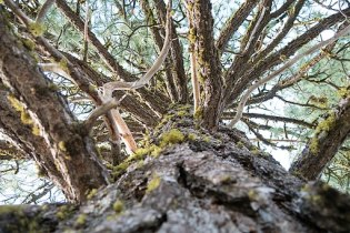 Lodgepole Pine: Detail Photo: U.S. Forest Service Pacific Northwest Region [Public domain]