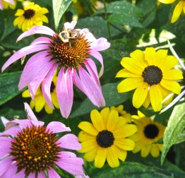 Coneflowers_Echinacea_and_Rudbeckia_Jun_JF