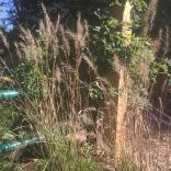 Elymus hystrix (Bottlebrush Grass) in September. Photo © Elaine Mills