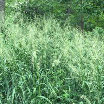 Elymus hystrix (Bottlebrush Grass) en masse in June. Photo © Elaine Mills