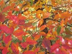 Nyssa_sylvatica_Leaves-2_Oct_ELM