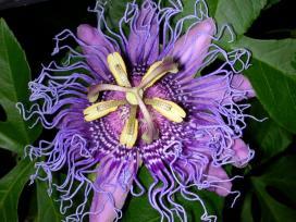 Coronal filaments or fringe of native Passiflora incarnata (purple passionflower) in June. Photo © Alyssa Ford Morel