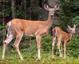 Wildlife_mammal_pest_Odocoileus_virginianus_white-tailed_deer_doe_and_fawn_Aug_MMF