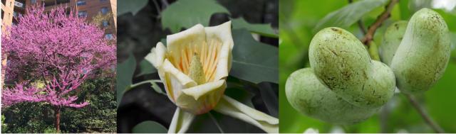 Redbud, magnolia and paw paw trees