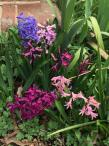 Hyacinthus (hyacinth) flowers.