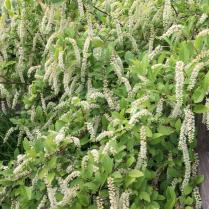 Itea virginica 'Henry's Garnet' (Virginia sweetspire) in bloom. 'Henry's Garnet' is a mid-height cultivar.