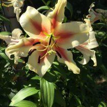 Lilium 'Lavon' (Oriental trumpet lily) in June.