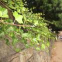 Invasive: English ivy on wall. Photo © Elaine Mills