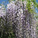 Wisteria floribunda (Japanese Wisteria)