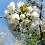 Invasive: Prunus aviumPhoto from Pixabayhttps://pixabay.com/photos/cherry-prunus-prunus-avium-rosacea-4135179/