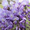 Wisteria floribunda (Japanese Wisteria)Image by İsmet Şahin from Pixabay