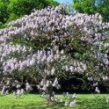 Princess Tree Paulownia tomentosa)