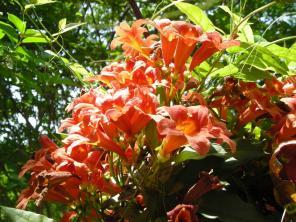 Bignonia capreolata (Cross-vine) flowers in May.Photo © Christa Watters