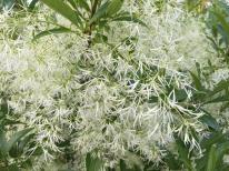 Chionanthus virginicus (white fringetree) Photo © Elaine Mills