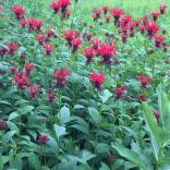 Monarda didyma  en Masse in June. Photo © Elaine Mills