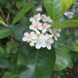Black chokeberry flowers are pollinated by small native bees.