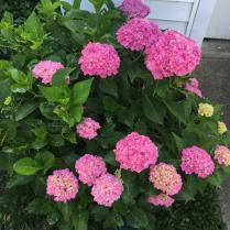 Mophead hydrangeas shine in spring.