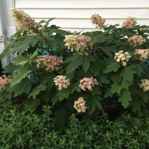 Changing flower colors of oakleaf hydrangea.
