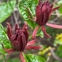 Maroon flowers of sweet-shrub.