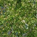 Prunus serotina (Black Cherry) flowers in May.Photo © Mary Free