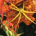 Lilium superbum (Turk's-cap Lily) in July. Photo © Elaine Mills
