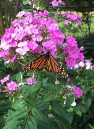 Monarch butterfly on Phlox paniculata (Garden Phlox) in August.Photo © Elaine Mills