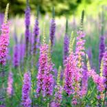 Purple Loosestrife Purple Loosestrife (Lythrum salicaria) in July. Photo Liz West Wikimedia Commons