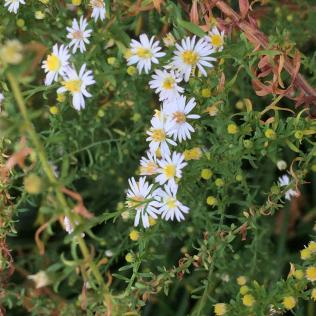 Delicate flowers of heath aster (Symphyotrichum ericoides) in the native plant garden