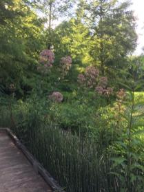 Joe-pye-weed (Eutrochium dubium) in the wetland at Meadowlark Botanical Gardens.