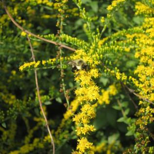 'Fireworks' goldenrod (Solidago rugosa), a source of late-season nectar and pollen for bumble bees