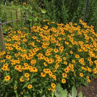 The 'Goldsturm' cultivar of orange coneflower (Rudbeckia fulgida) in the parking lot area