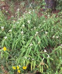Chelone glabra (white turtlehead) en masse in October. Photo © Elaine Mills