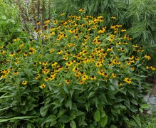 Rudbeckia fulgida (Orange Coneflower, maybe cultivar 'Goldsturm') at SImpson Gardens in August. Photo © Mary Free