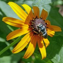 Female leafcutter bee on Rudbeckia fulgida var. sullivantii 'Goldsturm' (Orange Coneflower) in August. Photo © Mary Free