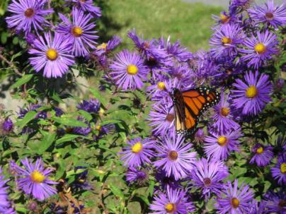 Plant asters in spring to draw Monarch butterflies in October. Photo © Christa Watters
