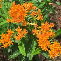 F: Asclepias tuberosa (butterfly weed)