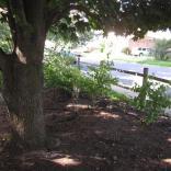 Norway Maple (Acer platanoides) providing dense shade. Photo © Elaine Mills