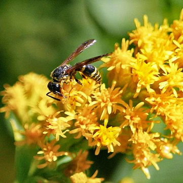 Wasp on Solidago rugosa 'Fireworks' (Rough-stemmed Goldenrod) in October. Photo © Mary Free