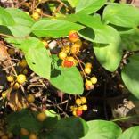 Oriental Bittersweet (Celastrus orbiculatus) fruit in October. Photo © Elaine Mills