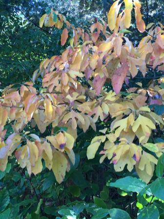 Sassafras albidum (Sassafras) in October. Photo © Elaine Mills