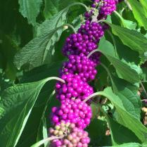 Callicarpa americana (American Beautyberry) haa jewel-like magenta fruit. Photo © Elaine Mills