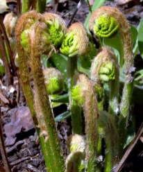 Osmunda claytoniana (interrupted fern) in April. Photo © Mary Free