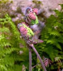 Osmunda spectabilis (royal fern) in April. Photo © Mary Free