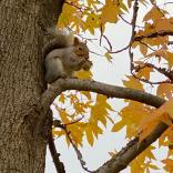 A happy squirrel enjoying the fruit of Liquidambar styraciflua (Sweetgum) in December. Photo © Elaine Mills